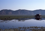 indian landscape in Rajasthan of pond with water lilies, buffalos and temple