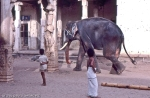 walking alone elephant in hindu temple of trichy in india